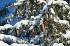 Tree branches with cones in the snow Royalty Free Stock Photo