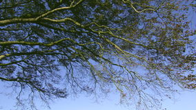 Tree branches contrasting against the blue sky. On a sunny day stock video