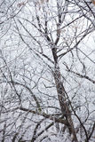 Tree branches covered with frost Royalty Free Stock Images