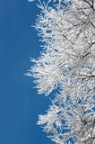 Tree branches covered with hoarfrost. Against blue sky Royalty Free Stock Image