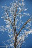 Tree branches covered with hoarfrost. Glint in the sun against the dark blue sky Stock Photos