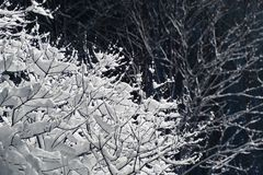 Branches covered with snow. Tree branches covered with lot of snow close up Royalty Free Stock Photography