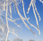 Tree branches covered with snow Royalty Free Stock Photography