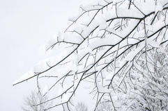 Tree Branches Covered in Snow. Tree branches covered in new fallen snow royalty free stock image
