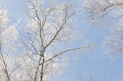 Tree branches covered with snow against blue sky Royalty Free Stock Photo