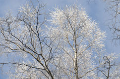 Tree branches covered with snow against blue sky Stock Photos