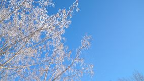 Tree branches covered snow against bright blue sky at sunny winter day. 4k stock video footage