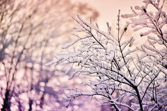 Tree Branches Covered in Snow Royalty Free Stock Photo