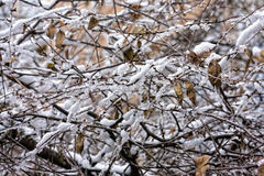 Tree branches covered with snow and ice Stock Photo