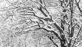 Tree branches covered with snow. A pattern of black and white tree branches covered with snow Stock Photography