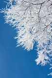 Tree branches covered with white frost. Against a blue sky Stock Image