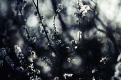 Tree branches covered in white spring blossoms Stock Photo