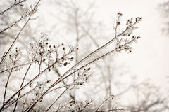 Tree branches encased in ice Royalty Free Stock Photo