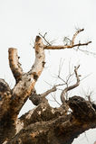 Tree branches expanding into sky. Very old and naked tree with expanded branches Royalty Free Stock Images