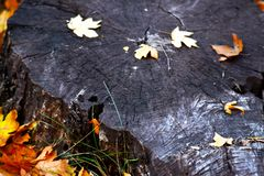 Tree cut with yellow autumn leaves royalty free stock photos