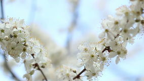 Tree branches with flowers in spring. Two branches of blooming cherry tree. Spring flowers on cherry tree on blue sky background. Closeup. Cherry blossom in stock footage