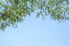 Tree branches with foliage against the sky. The top frame from tree branches with green foliage against the blue sky Stock Image