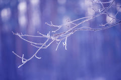 Tree branches frozen in the ice. Frozen tree branch in winter forest. Branch covered with snow Royalty Free Stock Image