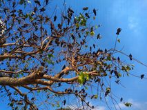 Tree Branches are full of pigeon birds perched on every branch. Tree Branches are full of pigeon birds perched on every branch, isolated with the beautiful blue royalty free stock images