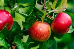Tree Branches Full of Red Fresh Apples in the Garden, Vegetation Background - Sunny Autumn Day stock images