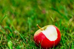 Tree Branches Full of Red Fresh Apples in the Garden, Vegetation Background - Sunny Autumn Day royalty free stock photography