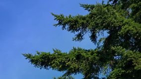 Tree Branches In Gentle Breeze. Pine tree branches sway in the wind stock video footage