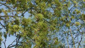 Tree branches in green blossom. Against a blue sky background. Close-up shot stock footage
