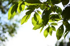 Tree branches and green leaf background, Safe the earth Stock Photography