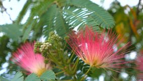 Tree branches with green leaves Albizia julibrissin, close up stock video