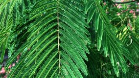 Tree branches with green leaves Albizia julibrissin. Summer day stock footage