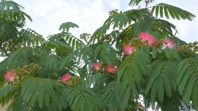 Tree branches with green leaves Albizia julibrissin. stock video