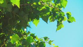 Tree branches with green leaves blue sky background poplar rocking in the wind slow motion video. nature landscape. Tree branches with green leaves blue sky stock video footage