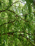 Tree Branches with Green Leaves. Lush, green leaves hang down from slender tree branches Stock Photos
