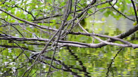 Tree branches hanging down into the water in  a swamp. Tree branches and water stock video