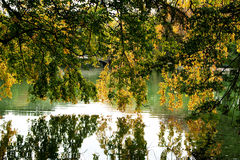 Tree branches hanging over lake royalty free stock image