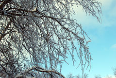 Tree branches in hoarfrost against the background of the blue sky Stock Images