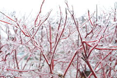Tree Branches during Ice Storm. This photograph features a multitude of ice encased red tree branches, during an ice storm in the winter. The ice is sharp Royalty Free Stock Photos
