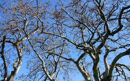 Tree Branches Isolated against Blue Sky Royalty Free Stock Photos