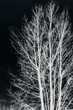 Tree branches isolated on black background Royalty Free Stock Images