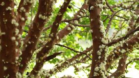 Tree branches Jabuticaba blossom. Tree of Jabuticaba fruit in your blossom with green leaves stock video footage