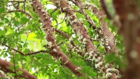 Tree branches Jabuticaba fruit blossom. Tree of Jabuticaba fruit in your blossom with green leaves stock video