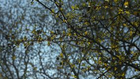 Tree branches in late spring with buds, golden leaves and a clear blue sky background. stock footage