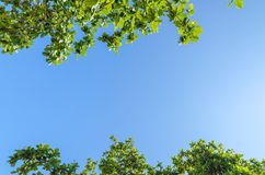 Tree branches with leaves against blue sky. Green tree branches with leaves against blue sky and cloud in summer Royalty Free Stock Photos