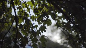 Tree branches and leaves backlight stock video footage