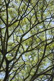 Tree branches with leaves and sky. Close-up of tree branches with green leaves and blue sky Royalty Free Stock Photo