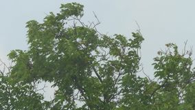 Tree Branches And Leaves In The Wind. Tree branches and leaves movement in strong wind stock video