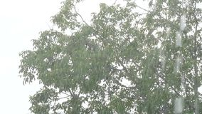 Tree Branches And Leaves In The Wind. Slow motion shot of a tree branches and leaves movement in strong wind stock footage