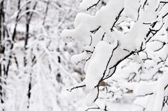 Tree branches loaded with snow after heavy snowfall Royalty Free Stock Image
