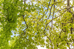 Tree branches looking up with green leaves and blue sky Stock Photo