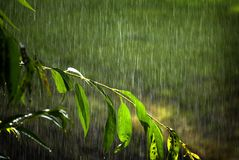 Tree Branches Lush Green Growth with Rain Falling Drops Drips Storm royalty free stock images